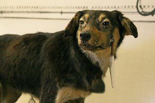 Pawlowsche Hund