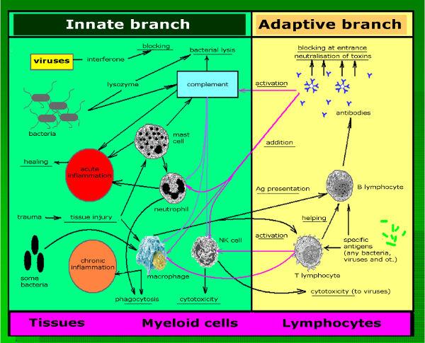 Adaptiver und innativer Zeig des Immunsystems - Bildquelle: http://www.intechopen.com/source/html/43369/media/image1.png