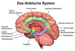 Limbische System - Bildquelle: Wikipedia / Geo-Science-International