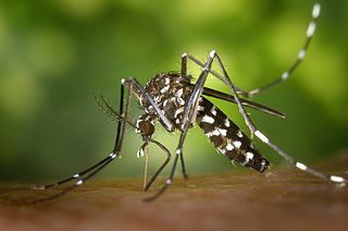 Aedes albopictus - Bildquelle: Wikipedia / James Gathany, CDC; gemeinfrei